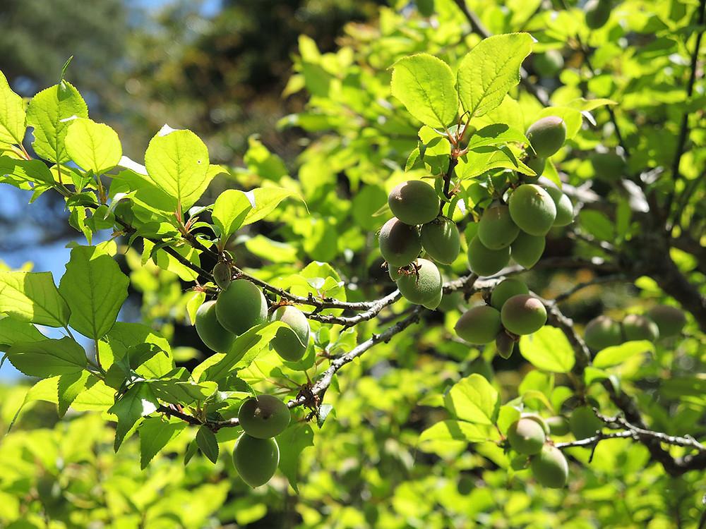熱海梅園の梅の実