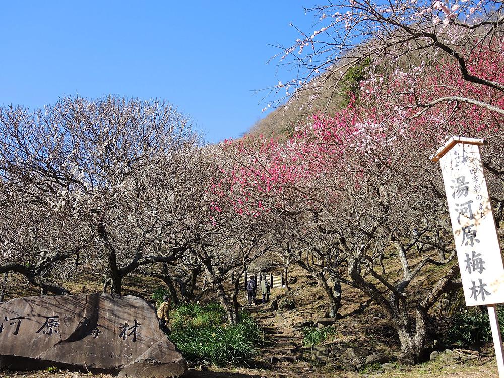 湯河原梅林「梅の宴」 熱海別荘不動産Irodori