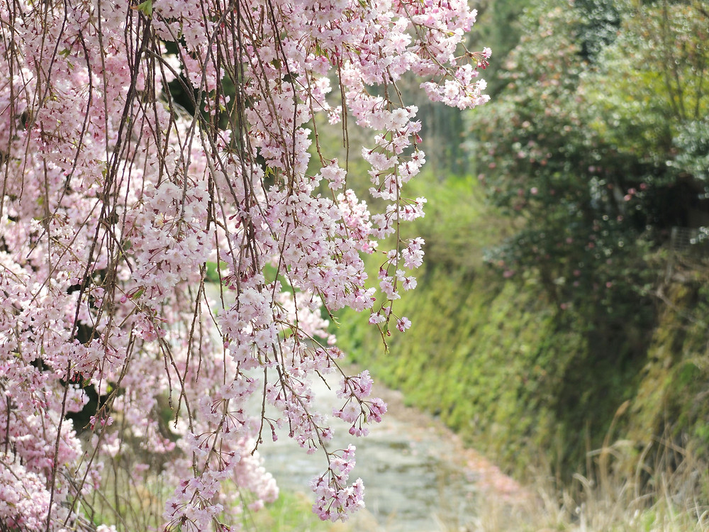 箱根宮城野しだれ桜 箱根別荘不動産Irodori