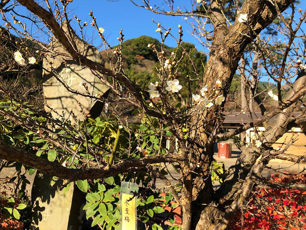 熱海梅園 早咲きの梅