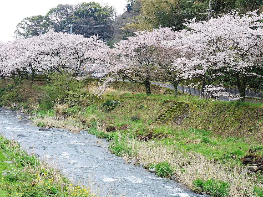 湯河原千歳川沿いの桜並木 湯河原別荘不動産Irodori