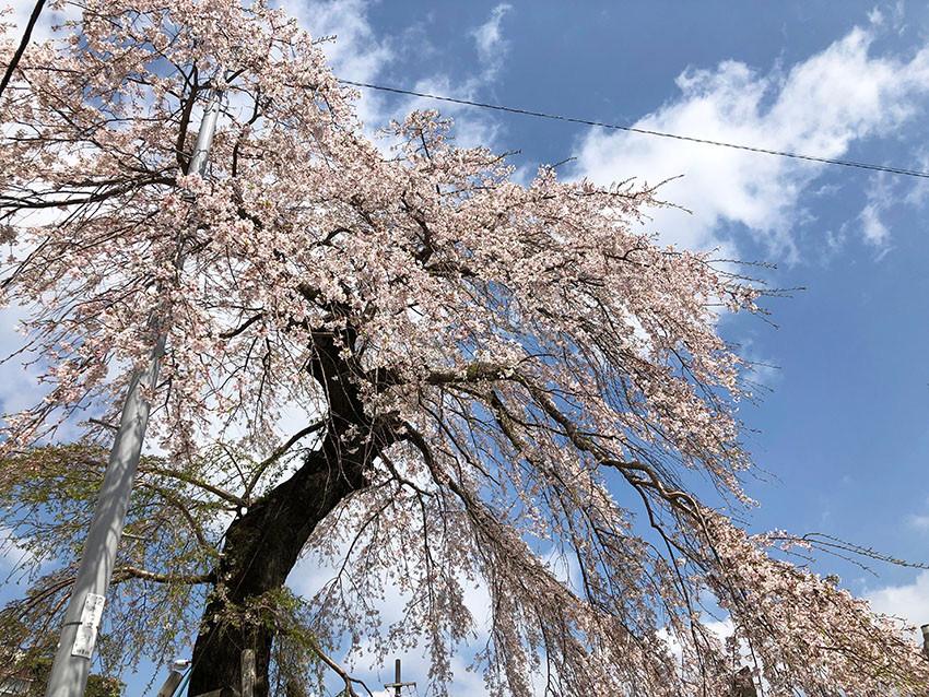 来宮駅の枝垂れ桜