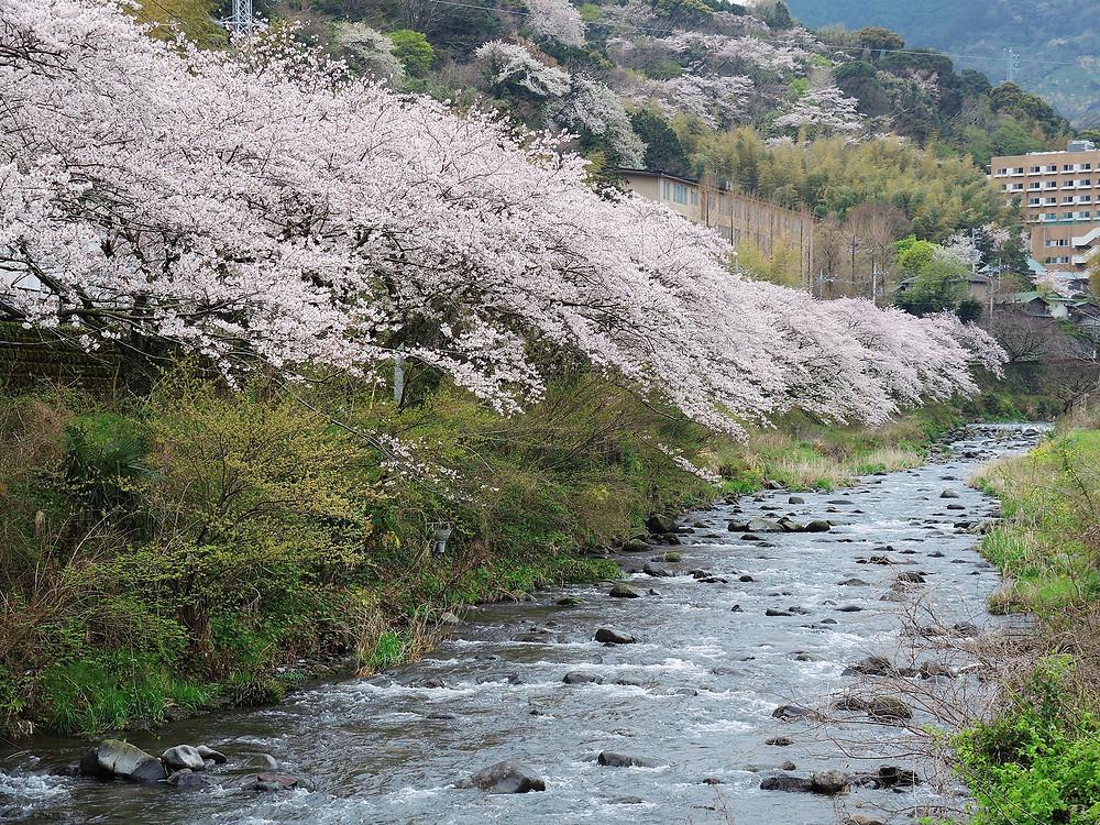 湯河原千歳川桜並木 湯河原別荘不動産Irodori