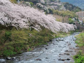 千歳川沿いの桜が満開です