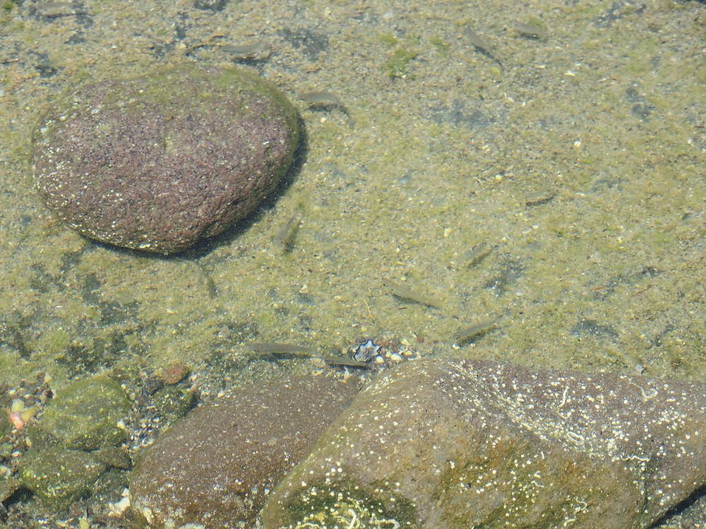 真鶴琴ヶ浜海岸タイドプールの魚