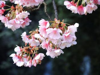満開を迎えた「あたみ桜」
