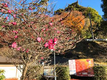 1月9日から「熱海梅園 梅まつり」が始まります