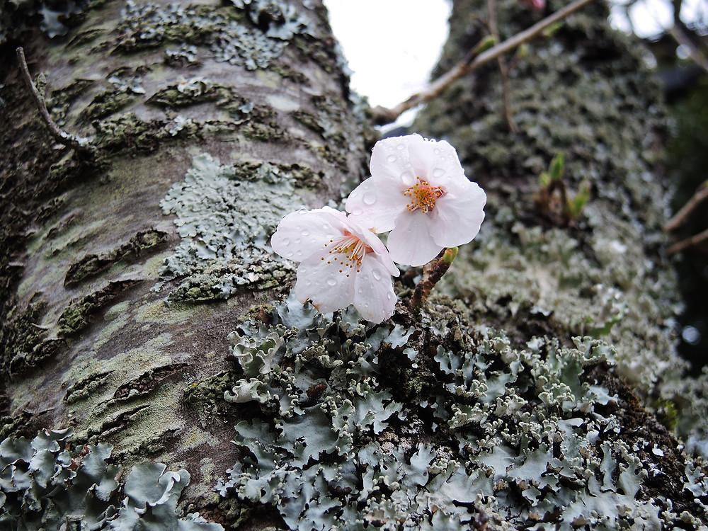 ソメイヨシノの花 熱海別荘不動産Irodori