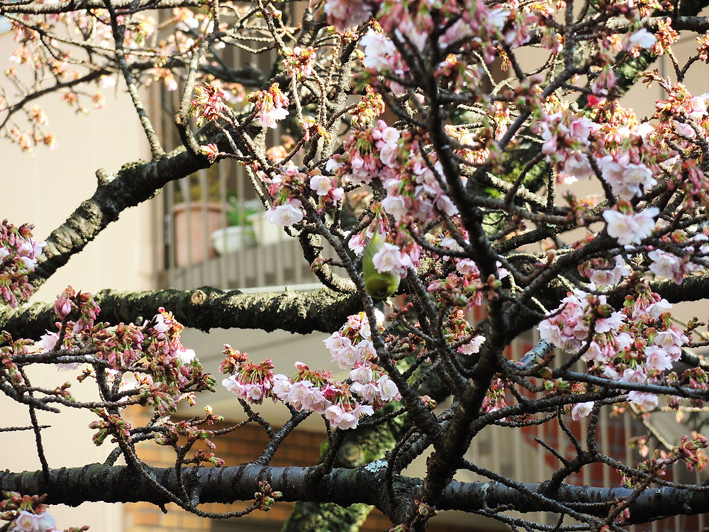 あたみ桜糸川桜まつり 熱海別荘・不動産・別荘清掃管理のIrodoriイロドリ