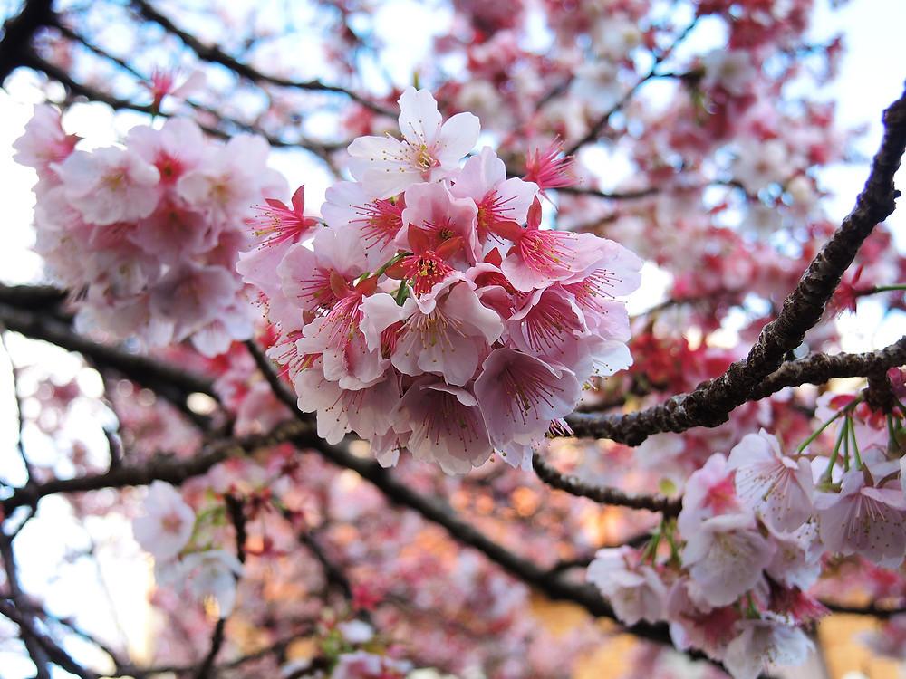 満開のあたみ桜