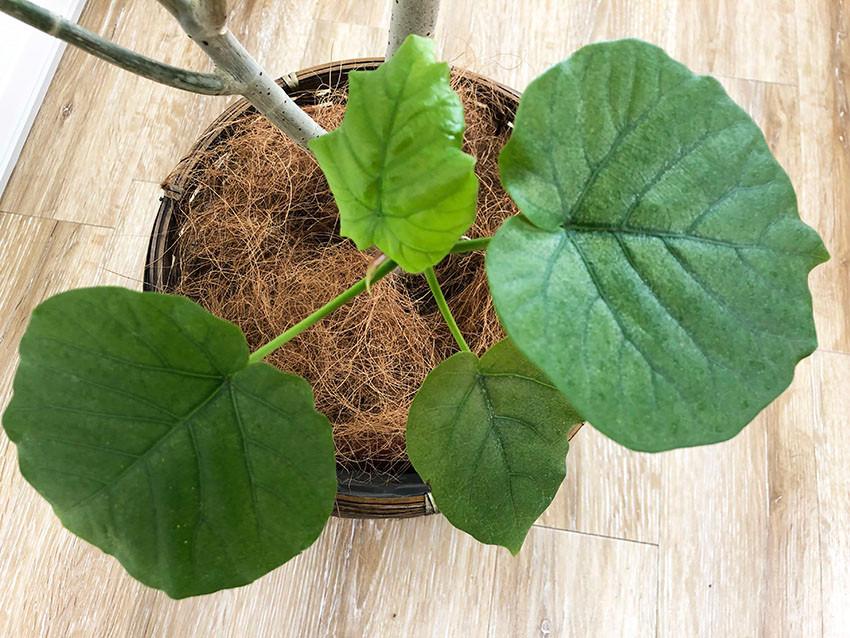 ウンベラータの鉢植え