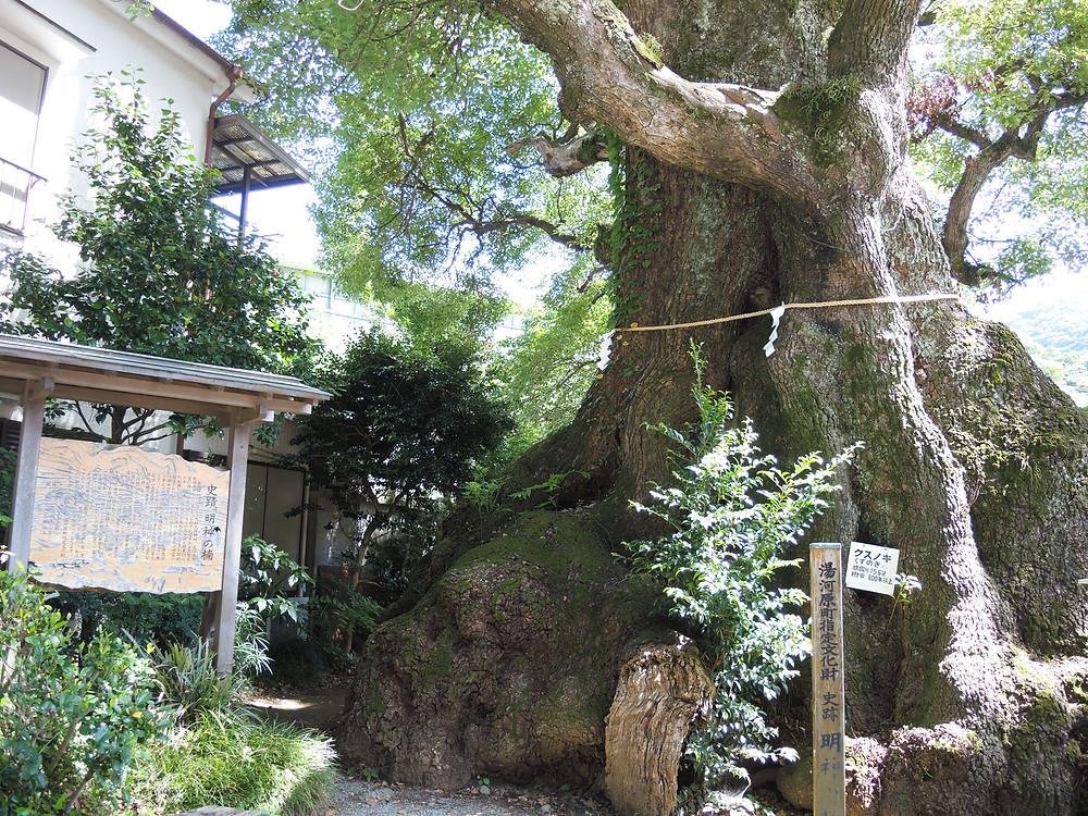 湯河原町 五所神社の明神の楠