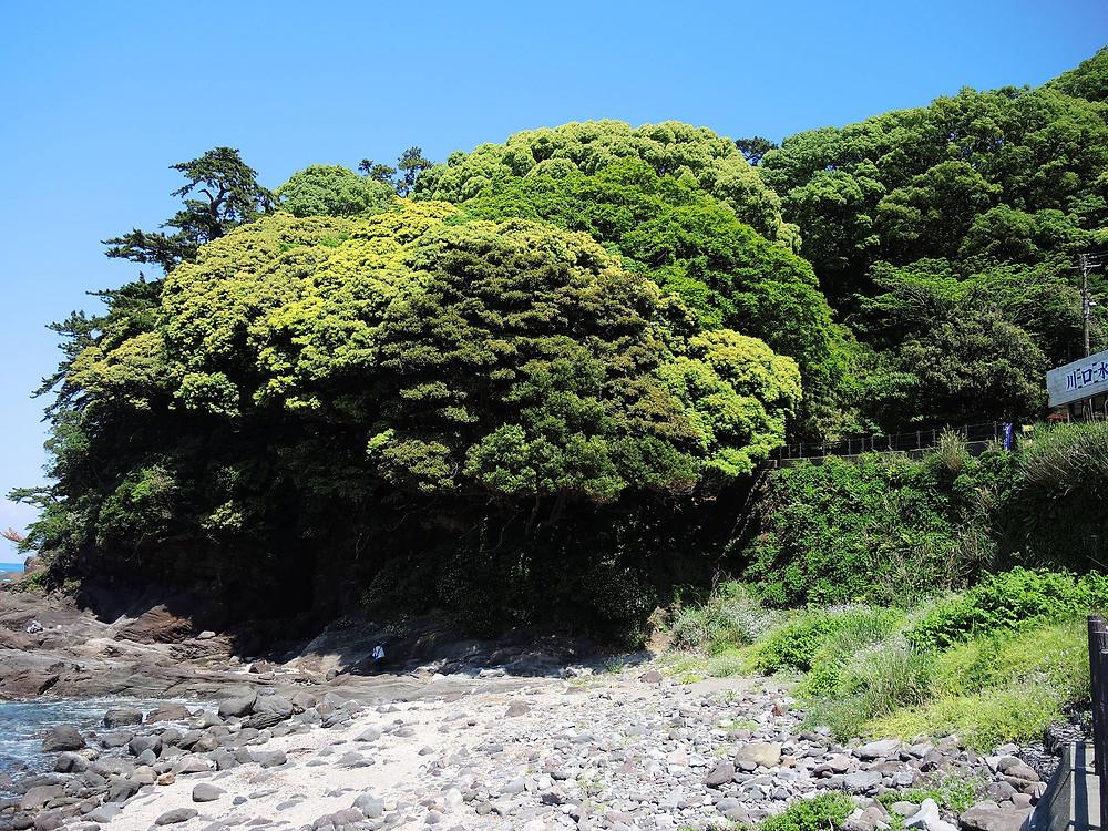 真鶴県立自然公園内のお林