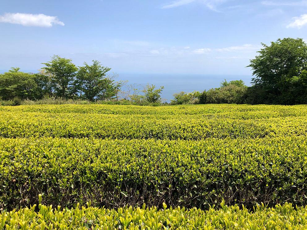 さつきの郷の茶畑