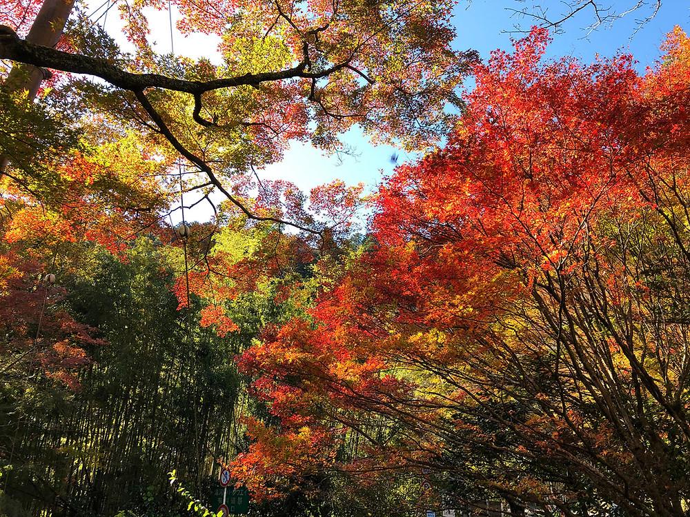 奥湯河原の鮮やかな紅葉