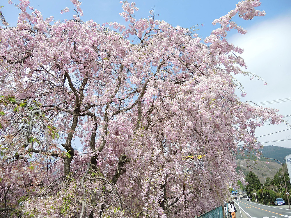 箱根宮城野しだれ桜並木 箱根別荘不動産Irodori