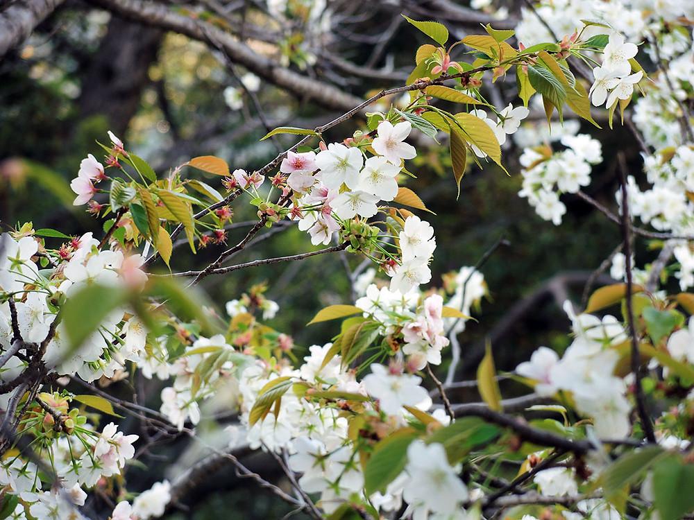 JR来宮駅近くの山桜