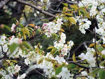 来宮駅周辺の桜が満開です