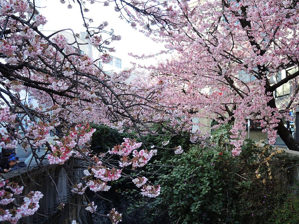 熱海糸川に咲く満開のあたみ桜