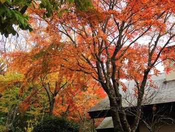 箱根は紅葉の見頃を迎えています