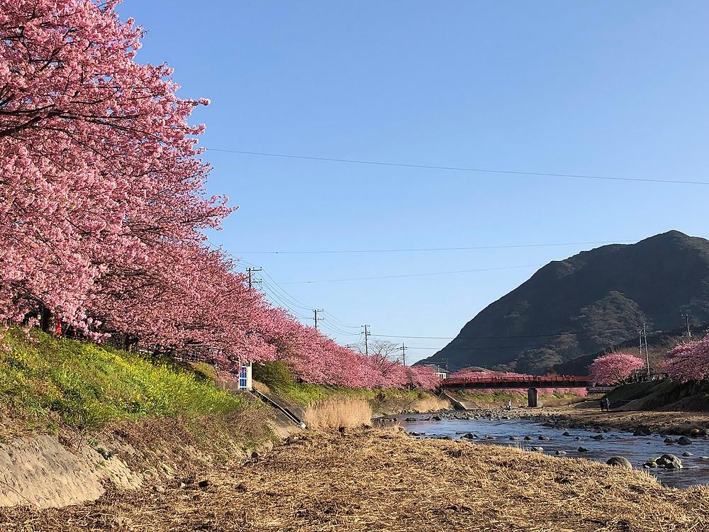 河津桜開花見頃