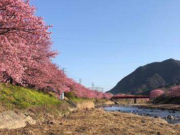 河津桜が最速の見頃を迎えています