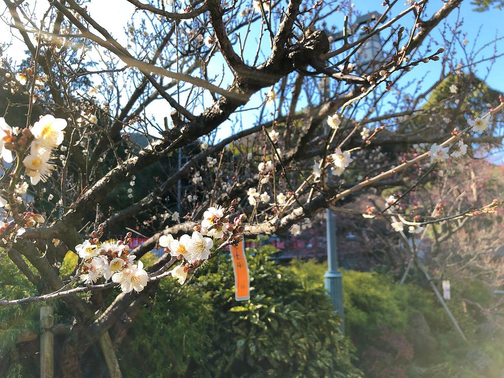 熱海梅園梅まつりの冬至梅