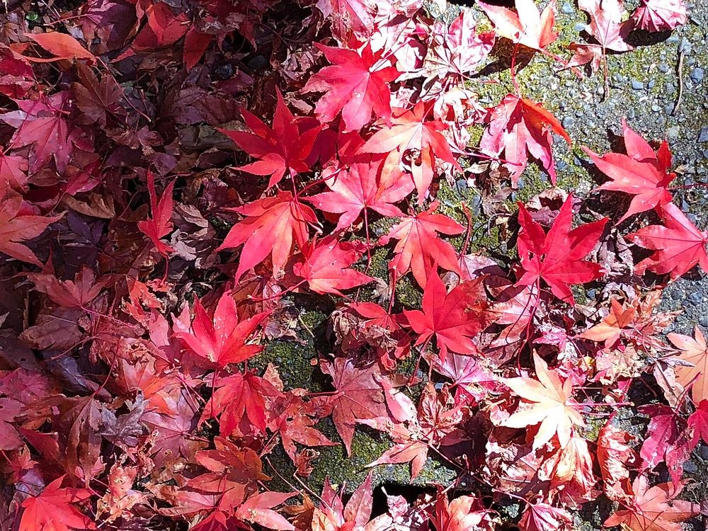 奥湯河原でたのしむ真っ赤な落ち葉