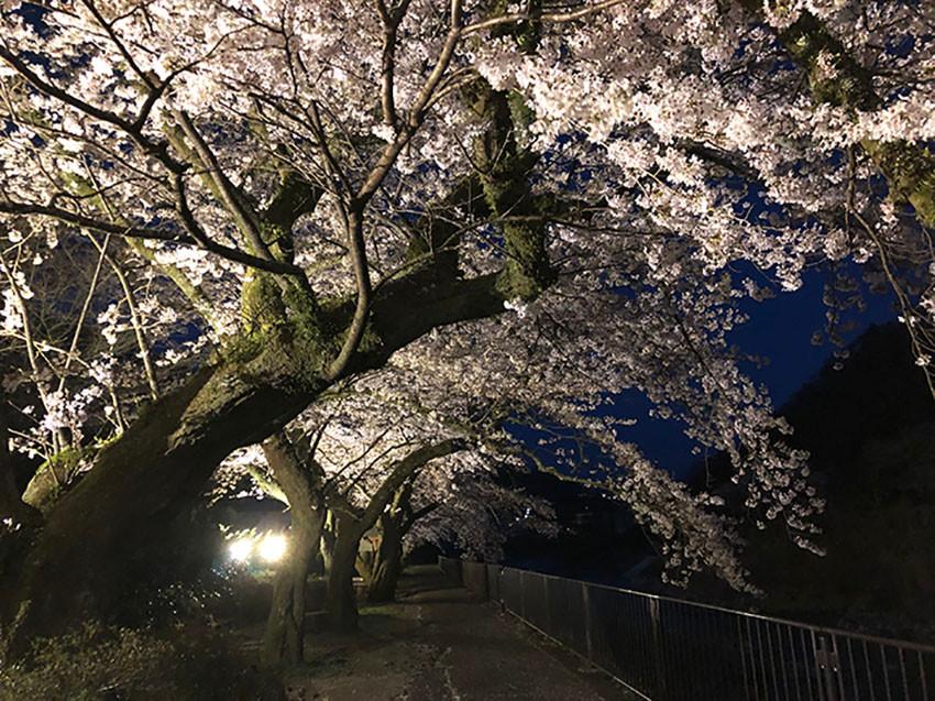 箱根 宮城野早川堤の桜