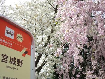 箱根宮城野のしだれ桜