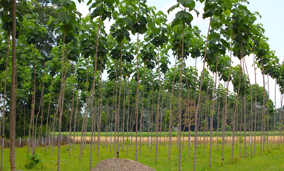 3 jähriger Paulownia Baum