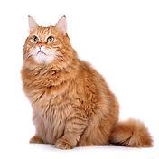 Чипирование кошек на дому