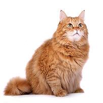 Кастрировать кота на дому.