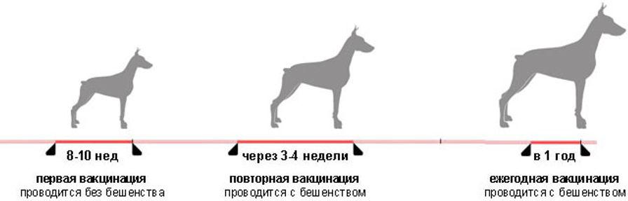 График прививок собак
