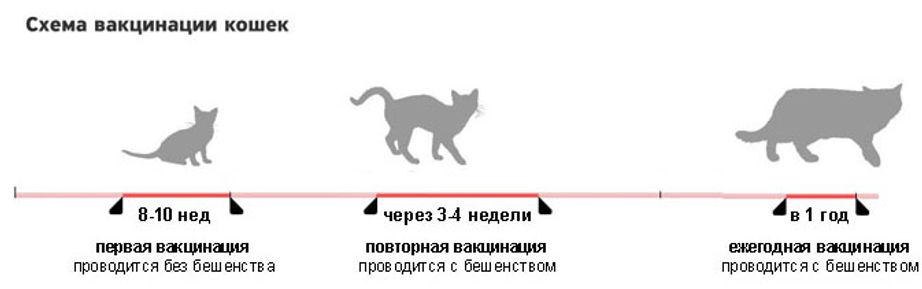График прививок котят