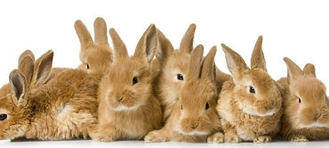 Прививки кролику на дому