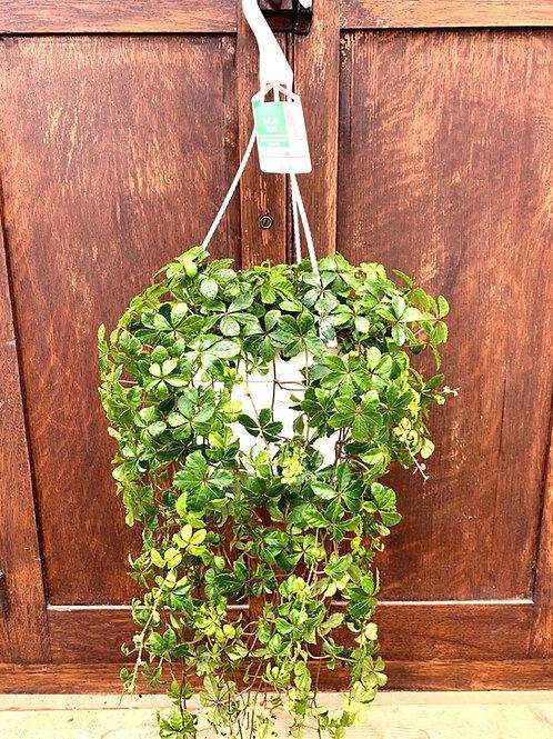 "Parthenocissus- Sugar Vine 8"" Hanging Basket"