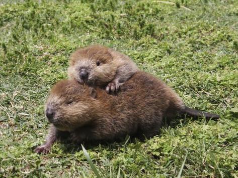 My Beaver