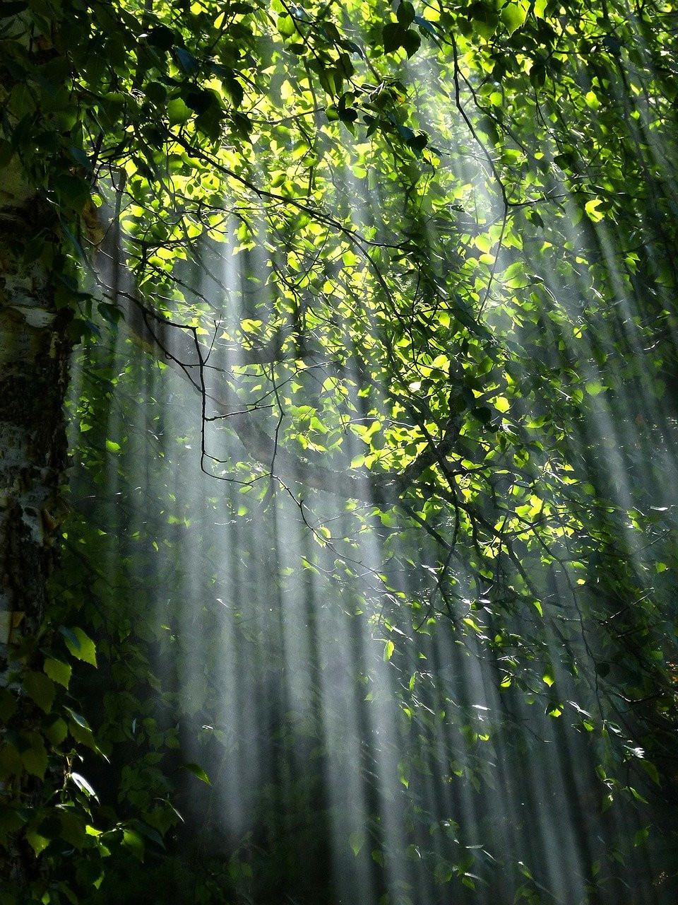 sunlight flooding through forest canopy