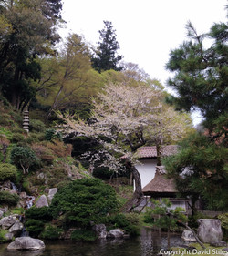 Mountain Cherry Tree in Garden