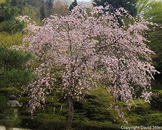 Mountain Cherry Tree
