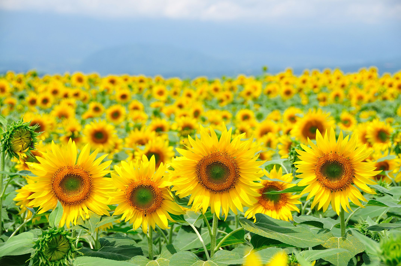 grinters-sunflower-farm-lawrence-kansas-