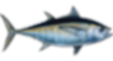blackfin-tuna.png
