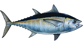 blackfin-tuna.png