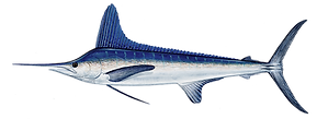 marlin_white copy.png