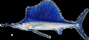 sailfish_Pacific copy.png
