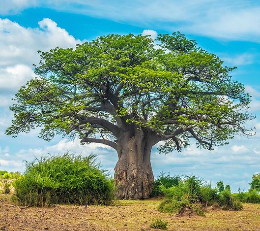 Baobab tree, Chobe National Park, Botswa