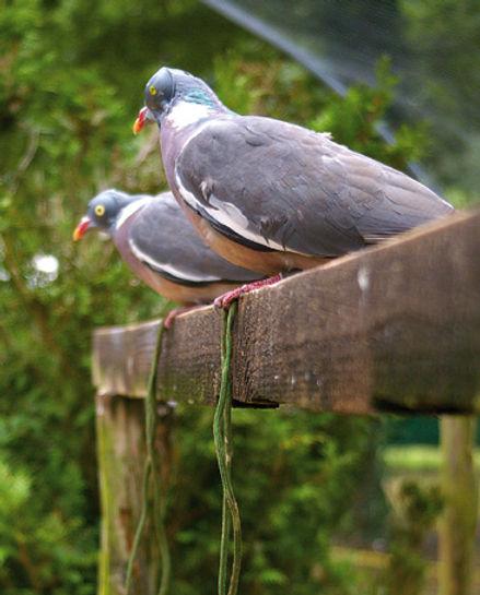 appelant_pigeons_ramier-24.jpg