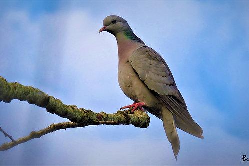 COCO, le colombin