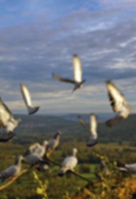 pigeons-volants.jpg